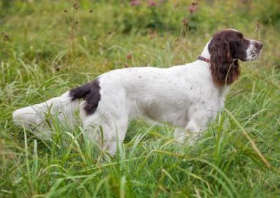 French Spaniel (FS)