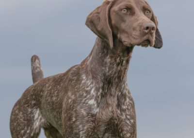 German Shorthaired Pointer (GS)