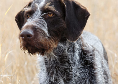 German Wirehaired Pointer (GW)