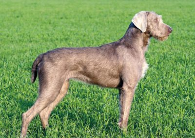 Slovakian Wirehaired Pointer (SH)