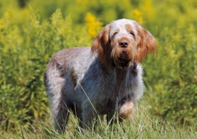 Spinone (SP)