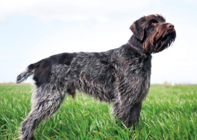 Wirehaired Pointing Griffon (GR)