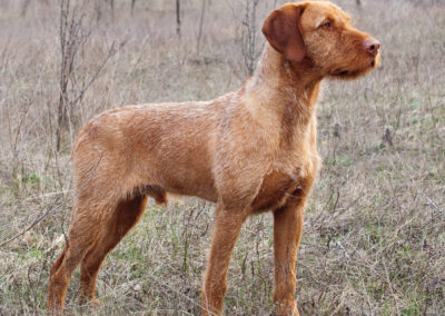 Wirehaired Vizsla (WV)